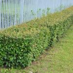 живая изгородь. несколько советов по уходу от ломоносовской усадьбы