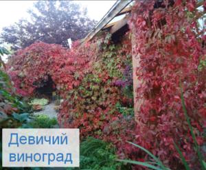 девичий виноград для балконов в ломоносовской усадьбе